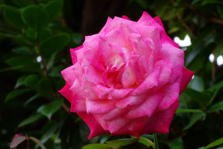 A lustrous, graceful, gorgeous pink rose flower
