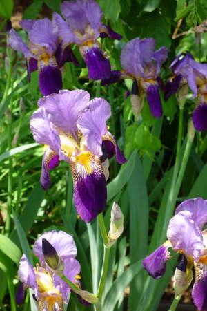 Iris, noble and elegant purple flowers