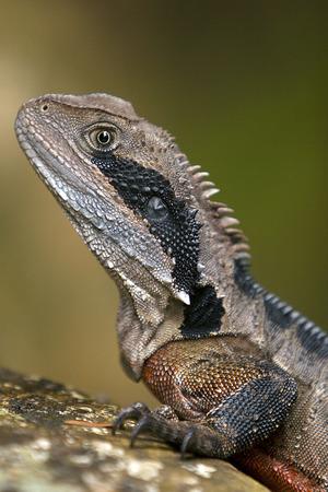 blooded: Australian Eastern Water Dragon