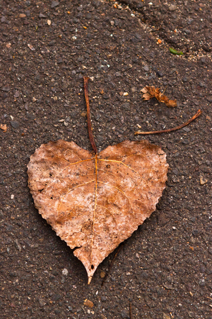 loveheart: a love heart shaped autumn leaf on the pavement