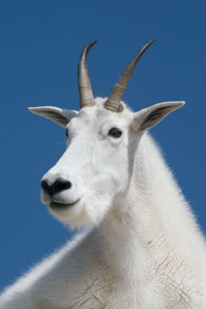 Regal Mountain Goat photo