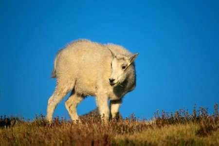 berggeit: berg geit jongen