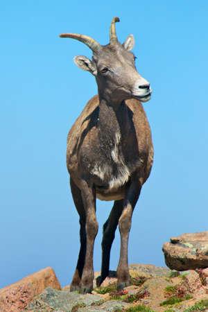 ewe: bighorn sheep ewe