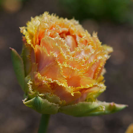 frayed: Frayed Rose
