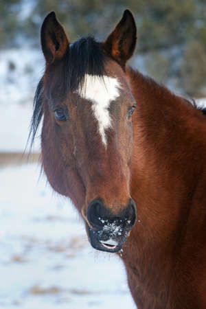 Brown Horse with snow on his muzzle