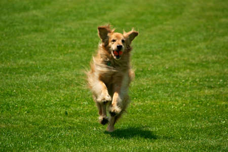 Running Golden Retriever with ball