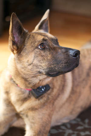 German Shepherd Looking right Stock Photo - 17323216