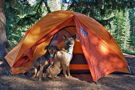 Two dogs outside tent