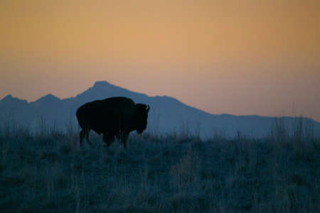 bison silhouette with mountains and yellow sunset