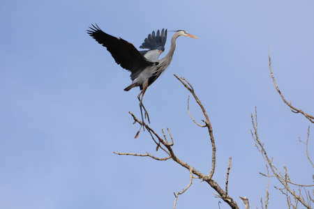 great blue heron landing on a tree limb