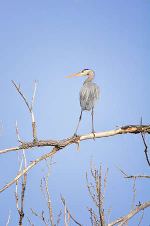 Great Blue heron keeps watching on a tree limb