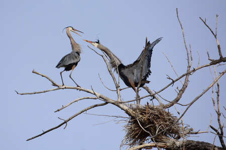 the female great blue heron defends her nest