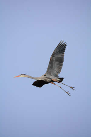 Great Blue Heron is flying