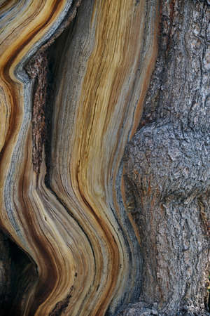bark contrast on a beautiful bristlecone pine tree Stock Photo