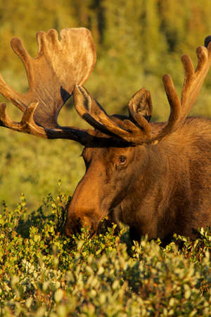 bull moose eating willows Stock Photo