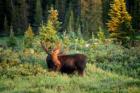 bull moose standing in the morning light