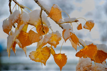 Snowy Orange Fall Leaves Stock Photo