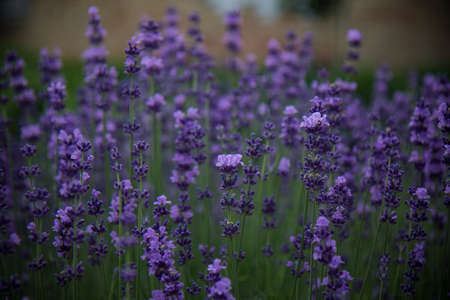 mysterious lavender