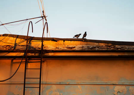 animal screaming: Two crows, fighting on a building in sunset light.