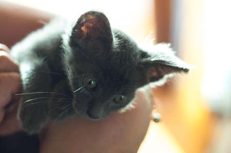 russian blue: Curious Russian Blue kitten. Soft focus and warm light