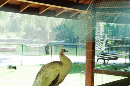 beack: One captive white peacock isolated in a cage. Stock Photo