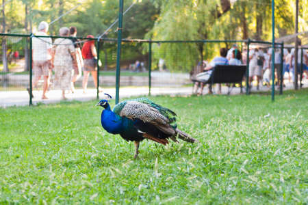 One captive blue peacock isolated in a cage.