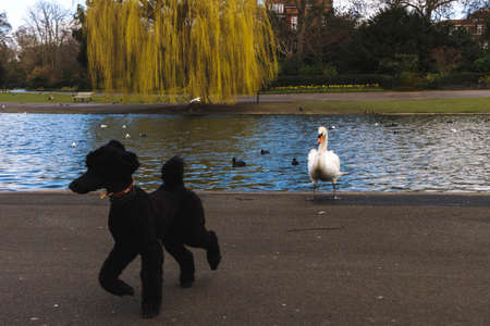 Black poodle running scared from a white swan in Regents park, in London. Funny scene