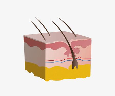healthy arteries: skin