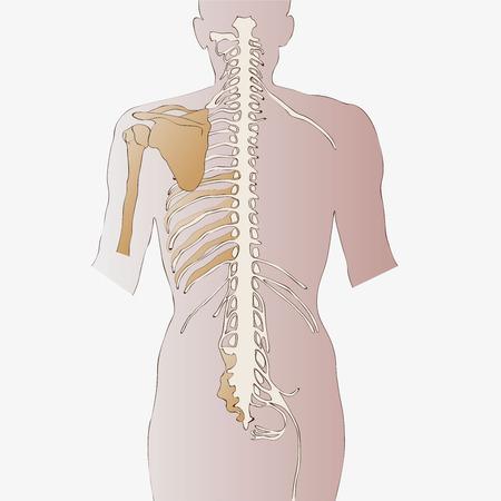 medula espinal: médula espinal Vectores