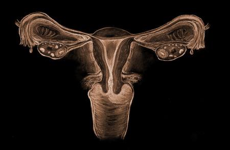 genitali: Il sistema riproduttivo femminile
