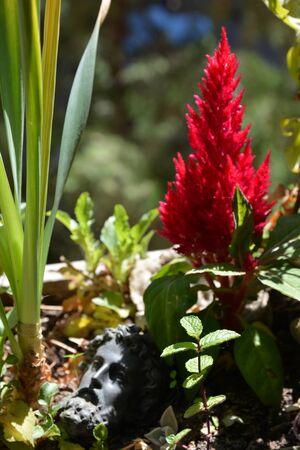 fuchsia: fuchsia flower