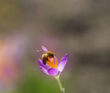 bee on flower: Bee on crocus