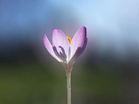 blue background: Beautiful spring purple crocuse