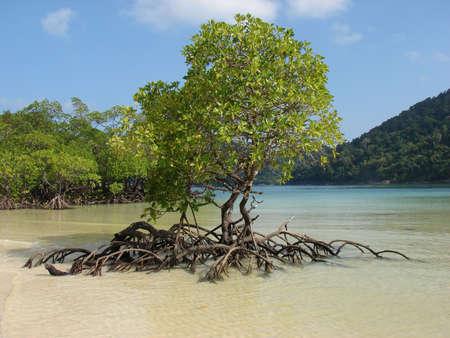 Mangrove trees in bay