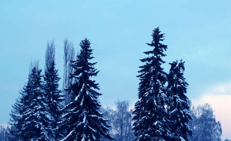 tips of winter firs in blue color covered with snow