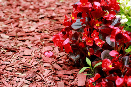 Red wood chips and Begonia semperflorens-cultorum in rhe garden