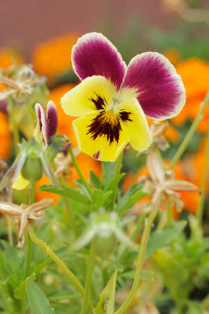 Johnny Jump up. Close-up of Viola tricolor on natural background