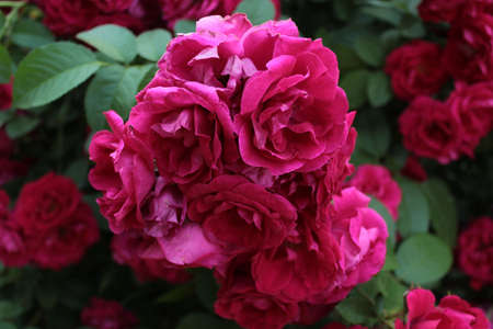 Bush of beautiful pink roses in the garden Banco de Imagens