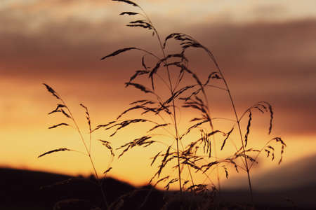 Beautiful sunset in the Carpathian mountains with the spikelets in the foreground Stok Fotoğraf