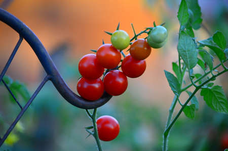 cherry tomatoes on the vine, daytime. Banco de Imagens