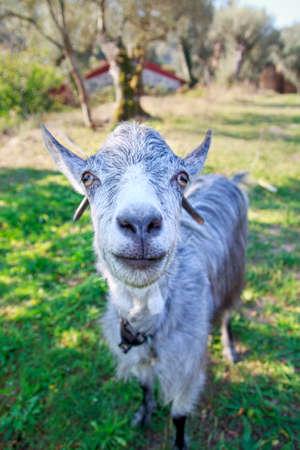 oudoors: Friendly goat at a farm