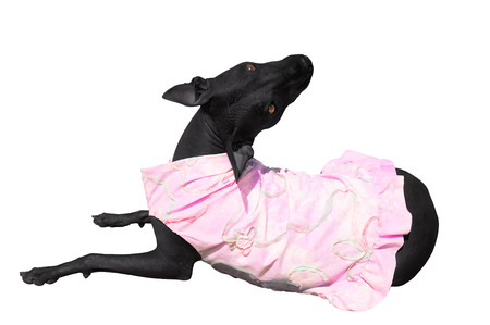 Miss xolo dog in pink dress
