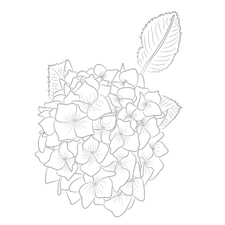 Vector Drawing of Contour Hydrangea for Coloring Book. Illustration of Flower with Leafs.  Hydranga in White Background