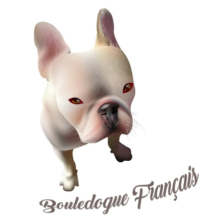 Vector Illustration of French Bulldog. Realistic Drawing of a Dog on White Background with Text. Popular Breed of Dogs. Illustration