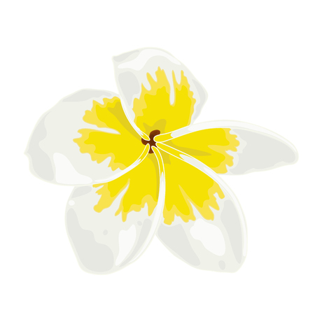 Vector Illustration of Plumeria White, Frangipini. Drawing of Flower of Immortality and Carnal Love. Botanical and Floral Drawing Illustration