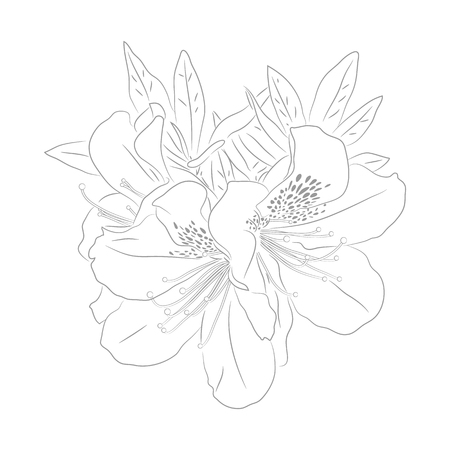 Vector Contour Illustration of  Dwarf Korean Azalea for Coloring Book. Floral Template. Beautiful Wedding Elements.. Botanical Drawing of Plant from Kind of Rhododendron. Evergreen Azalea