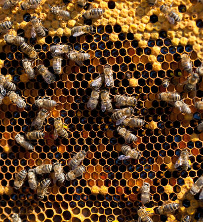 honey and honey bees working photo