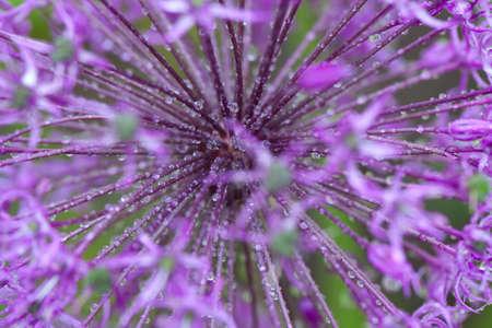 Allum flowers after rain photo