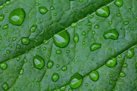 fresh green leaf with rain drops photo