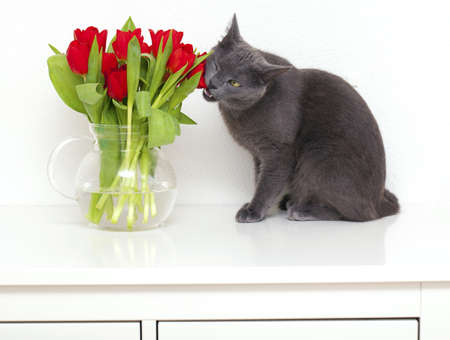 grey cat eating red tulips photo